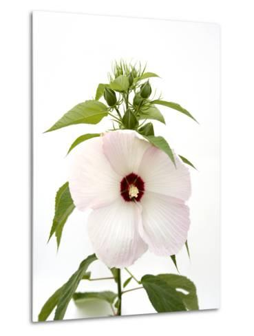 A Pink Tinged Hibiscus Flower, Malvoideae Hibisceae-Joel Sartore-Metal Print