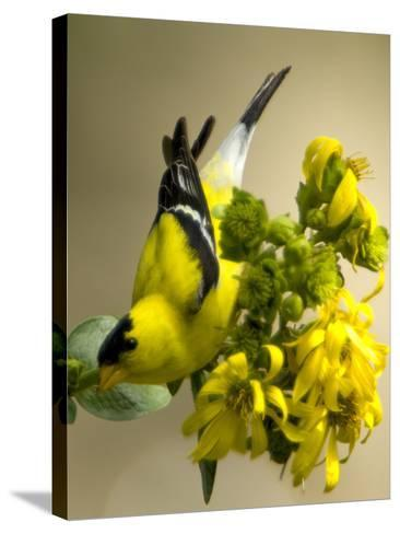 Male American Goldfinch, Spinus Tristis, in Breeding Plumage on a Flower-Paul Sutherland-Stretched Canvas Print