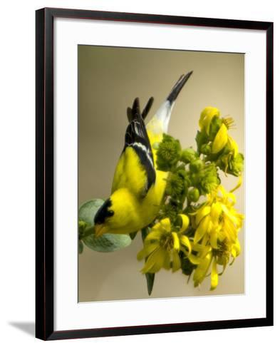 Male American Goldfinch, Spinus Tristis, in Breeding Plumage on a Flower-Paul Sutherland-Framed Art Print