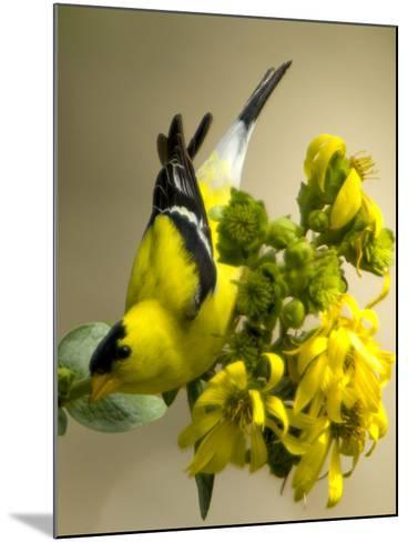 Male American Goldfinch, Spinus Tristis, in Breeding Plumage on a Flower-Paul Sutherland-Mounted Photographic Print