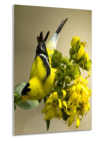 Male American Goldfinch, Spinus Tristis, in Breeding Plumage on a Flower-Paul Sutherland-Metal Print
