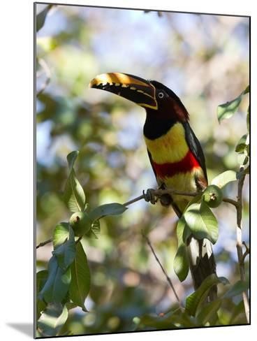 Portrait of a Chestnut-Eared Aracari Perched on a Branch-Roy Toft-Mounted Photographic Print