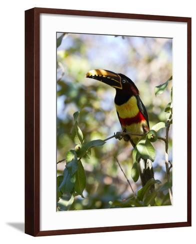 Portrait of a Chestnut-Eared Aracari Perched on a Branch-Roy Toft-Framed Art Print