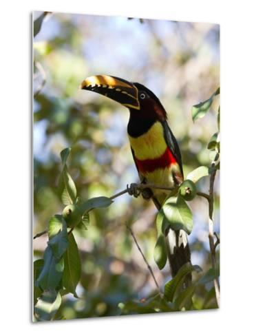 Portrait of a Chestnut-Eared Aracari Perched on a Branch-Roy Toft-Metal Print