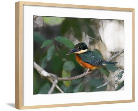 Portrait of a Green and Rufous Kingfisher, Chloroceryle Inda-Roy Toft-Framed Art Print