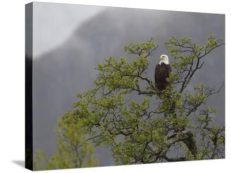 An American Bald Eagle, Haliaeetus Leucocephalus, Perched in a Tree-Roy Toft-Stretched Canvas Print