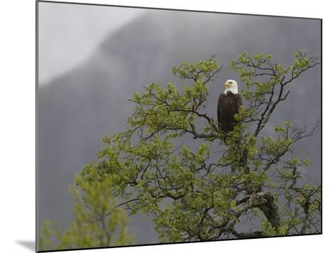 An American Bald Eagle, Haliaeetus Leucocephalus, Perched in a Tree-Roy Toft-Mounted Photographic Print