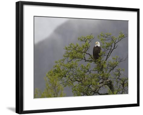 An American Bald Eagle, Haliaeetus Leucocephalus, Perched in a Tree-Roy Toft-Framed Art Print