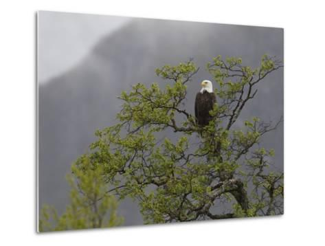 An American Bald Eagle, Haliaeetus Leucocephalus, Perched in a Tree-Roy Toft-Metal Print