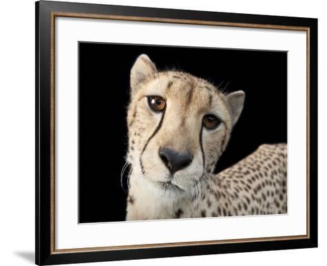 Hasari, a Three-Year-Old Cheetah, Acinonyx Jubatus-Joel Sartore-Framed Art Print