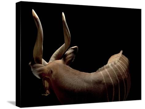 A Male Eastern Bongo, Tragelaphus Eurycerus Isaaci-Joel Sartore-Stretched Canvas Print