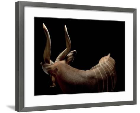 A Male Eastern Bongo, Tragelaphus Eurycerus Isaaci-Joel Sartore-Framed Art Print