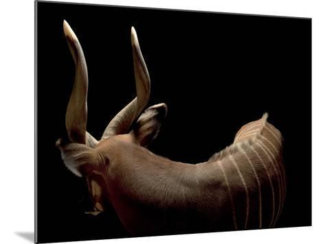A Male Eastern Bongo, Tragelaphus Eurycerus Isaaci-Joel Sartore-Mounted Photographic Print