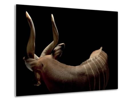 A Male Eastern Bongo, Tragelaphus Eurycerus Isaaci-Joel Sartore-Metal Print