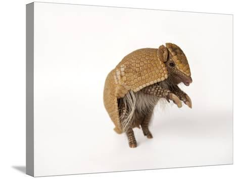 A Southern Three-Banded Armadillo, Tolypeutes Matacus-Joel Sartore-Stretched Canvas Print