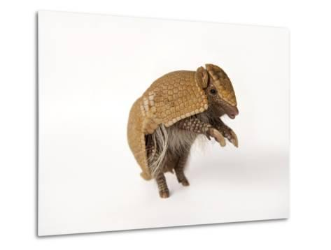 A Southern Three-Banded Armadillo, Tolypeutes Matacus-Joel Sartore-Metal Print