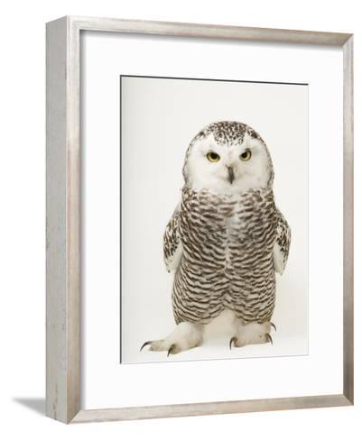 A Female Snowy Owl, Bubo Scandiacus, at Raptor Recovery Nebraska-Joel Sartore-Framed Art Print