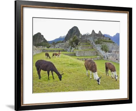 Llamas Eating on the Grounds of the Inca Ruins of Machu Picchu-Mike Theiss-Framed Art Print