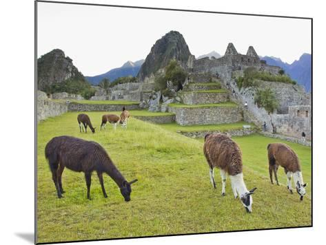 Llamas Eating on the Grounds of the Inca Ruins of Machu Picchu-Mike Theiss-Mounted Photographic Print