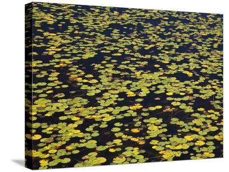 Floating Lilypads in Autumn Colors-Michael Melford-Stretched Canvas Print