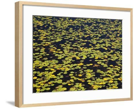 Floating Lilypads in Autumn Colors-Michael Melford-Framed Art Print