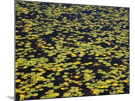 Floating Lilypads in Autumn Colors-Michael Melford-Mounted Photographic Print