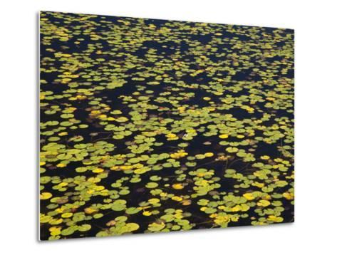 Floating Lilypads in Autumn Colors-Michael Melford-Metal Print