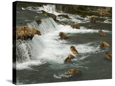 Many Brown Bears Congregated to Feed on Salmon-Barrett Hedges-Stretched Canvas Print
