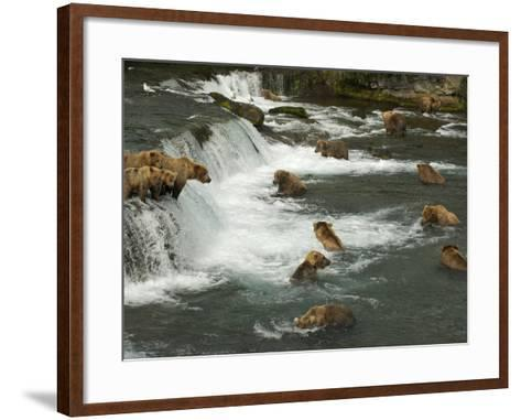 Many Brown Bears Congregated to Feed on Salmon-Barrett Hedges-Framed Art Print