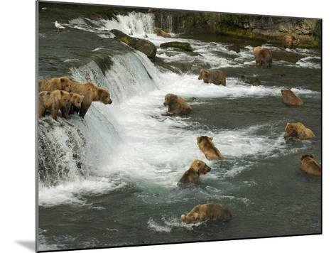 Many Brown Bears Congregated to Feed on Salmon-Barrett Hedges-Mounted Photographic Print