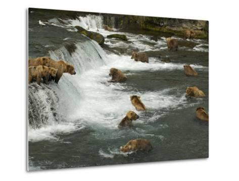 Many Brown Bears Congregated to Feed on Salmon-Barrett Hedges-Metal Print