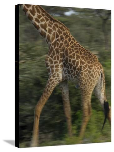A Reticulated Giraffe Runs across the Grasslands in Tanzania-Michael Melford-Stretched Canvas Print