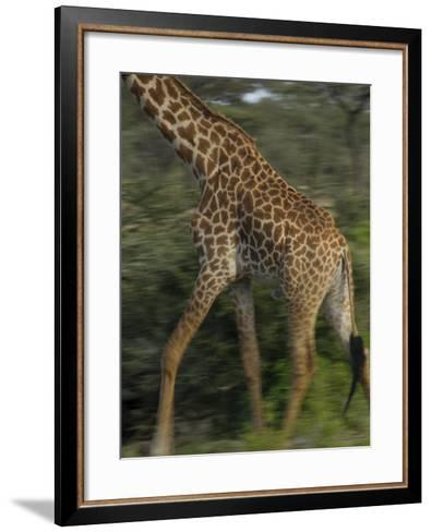 A Reticulated Giraffe Runs across the Grasslands in Tanzania-Michael Melford-Framed Art Print