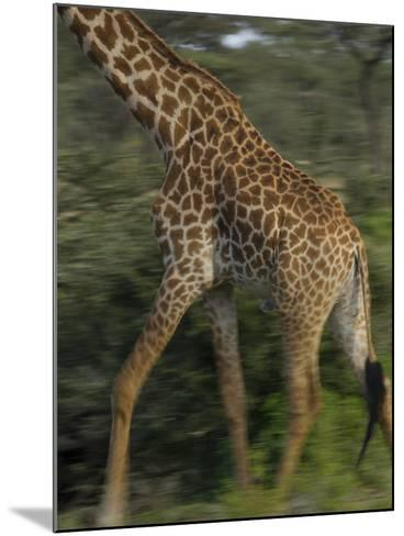 A Reticulated Giraffe Runs across the Grasslands in Tanzania-Michael Melford-Mounted Photographic Print