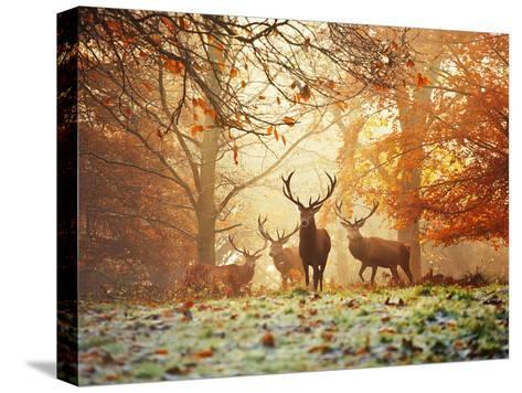Four Red Deer, Cervus Elaphus, in the Forest in Autumn-Alex Saberi-Stretched Canvas Print