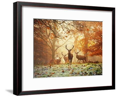 Four Red Deer, Cervus Elaphus, in the Forest in Autumn-Alex Saberi-Framed Art Print