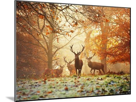 Four Red Deer, Cervus Elaphus, in the Forest in Autumn-Alex Saberi-Mounted Photographic Print