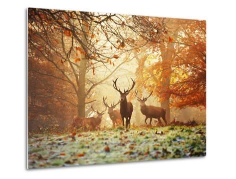 Four Red Deer, Cervus Elaphus, in the Forest in Autumn-Alex Saberi-Metal Print