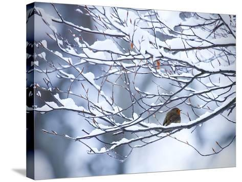 A European Robin, Erithacus Rubecula, on a Snow Covered Branch-Alex Saberi-Stretched Canvas Print