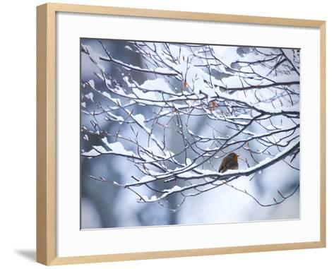 A European Robin, Erithacus Rubecula, on a Snow Covered Branch-Alex Saberi-Framed Art Print