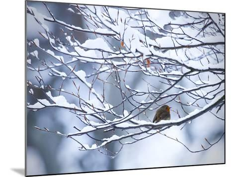 A European Robin, Erithacus Rubecula, on a Snow Covered Branch-Alex Saberi-Mounted Photographic Print