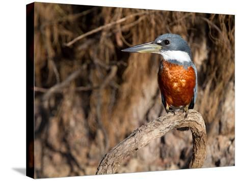 Ringed Kingfisher Perched on a Tree Branch-Roy Toft-Stretched Canvas Print
