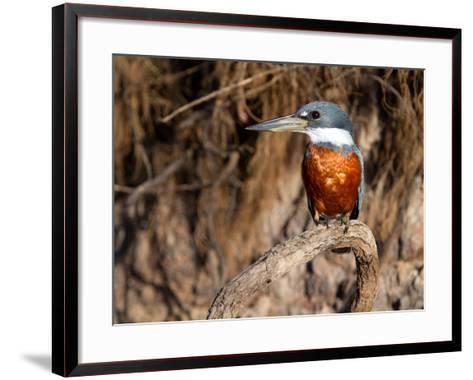Ringed Kingfisher Perched on a Tree Branch-Roy Toft-Framed Art Print