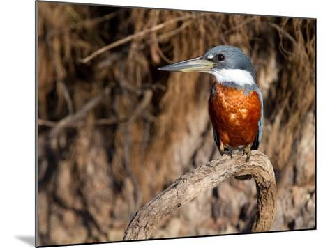 Ringed Kingfisher Perched on a Tree Branch-Roy Toft-Mounted Photographic Print