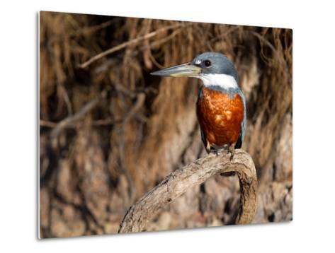 Ringed Kingfisher Perched on a Tree Branch-Roy Toft-Metal Print