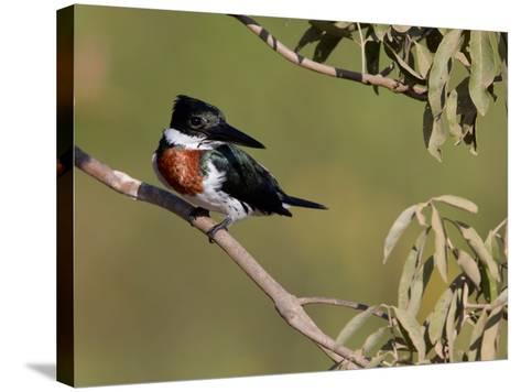 Male Amazon Kingfisher, Chloroceryle Amazona-Roy Toft-Stretched Canvas Print