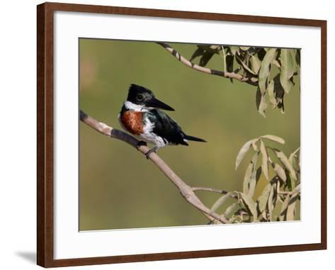 Male Amazon Kingfisher, Chloroceryle Amazona-Roy Toft-Framed Art Print