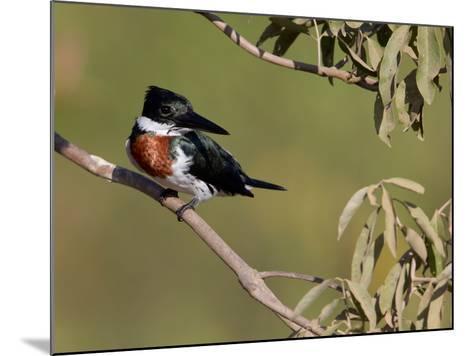 Male Amazon Kingfisher, Chloroceryle Amazona-Roy Toft-Mounted Photographic Print
