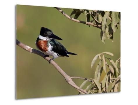 Male Amazon Kingfisher, Chloroceryle Amazona-Roy Toft-Metal Print