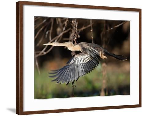 Anhinga, Anhinga Anhinga, in Flight-Roy Toft-Framed Art Print
